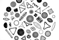 """Diatoms"" Photo credit: Randolph Femmer"